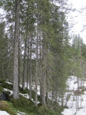 Skogen der grana ble tatt ut.