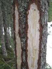 Ved å slinne av barken og prøve med knivspissen kan vi se om det er vridd eller rett vekst i grana.