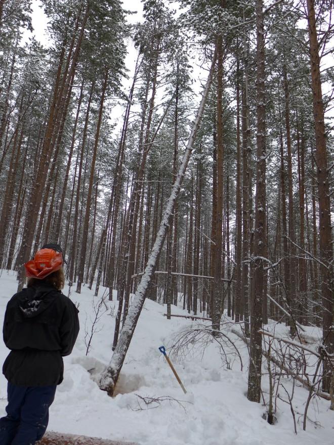 Når skogen står tett er det lett for at treet ein skal felle blir hengande fast i ein nabotre. Foto: Siv Holmin