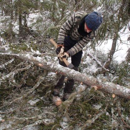 """Kvisting av øks er veldig raskt og effektivt når grana har vokst opp i tett bestand. Lite og kvistene var stort sett underØ 1"""" Foto.Henning Jensen"""